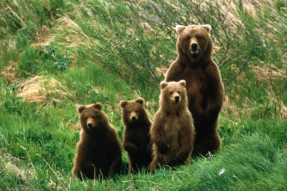 Cub Scouts Brown Bears Wallpaper for Android, iPhone and iPad