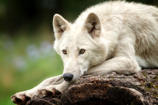 Arctic wolf Picture for Android, iPhone and iPad