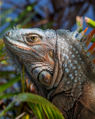 Iguana Lizard Wallpaper for Nokia C1-01
