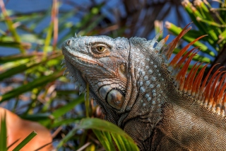 Iguana Lizard Background for Desktop 1280x720 HDTV