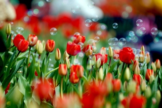 Tulips And Bubbles Background for Android, iPhone and iPad