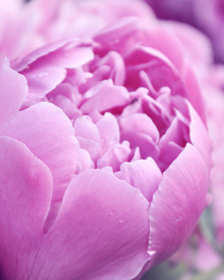 Purple Peonies Wallpaper for HTC Titan