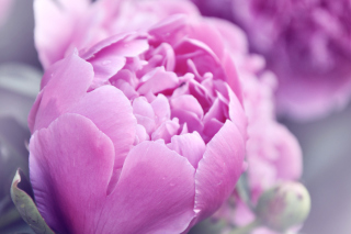 Purple Peonies Background for Android, iPhone and iPad
