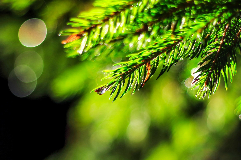 Капли сосна дерево загрузить