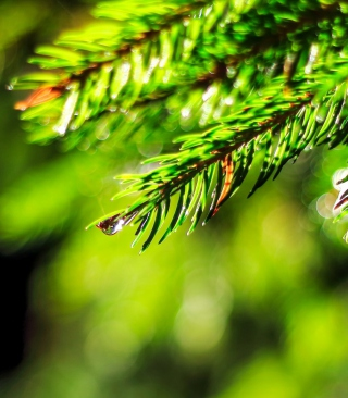 Close-Up Spruce Tree Branch - Obrázkek zdarma pro iPhone 5