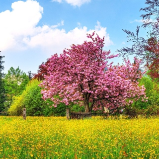 Flowering Cherry Tree in Spring sfondi gratuiti per 1024x1024