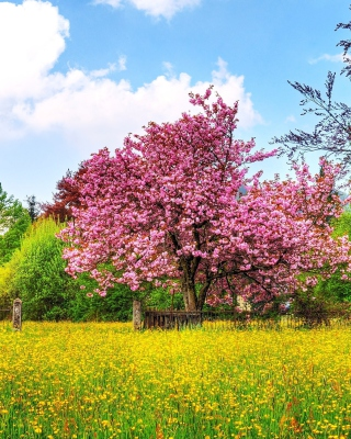 Flowering Cherry Tree in Spring sfondi gratuiti per 640x1136