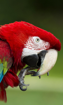 Green winged macaw wallpaper 240x400