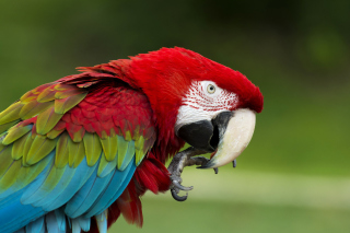 Green winged macaw sfondi gratuiti per cellulari Android, iPhone, iPad e desktop