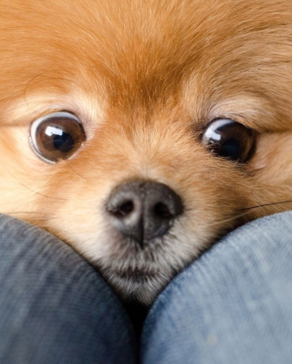 Funny Ginger Dog Eyes Background for Nokia Asha 311