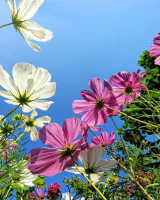 Cosmos flowering plants Background for HTC Titan