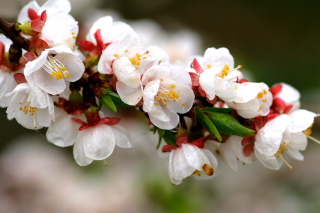 White spring blossoms Background for Android, iPhone and iPad