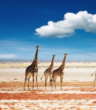 African Giraffes Wallpaper for Nokia C1-01