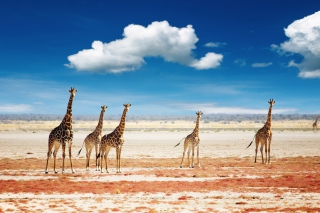 African Giraffes Background for Android, iPhone and iPad