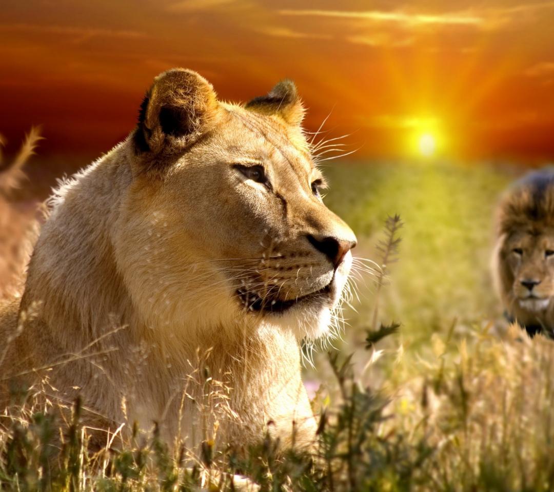Lions In Kruger National Park para Motorola RAZR XT910
