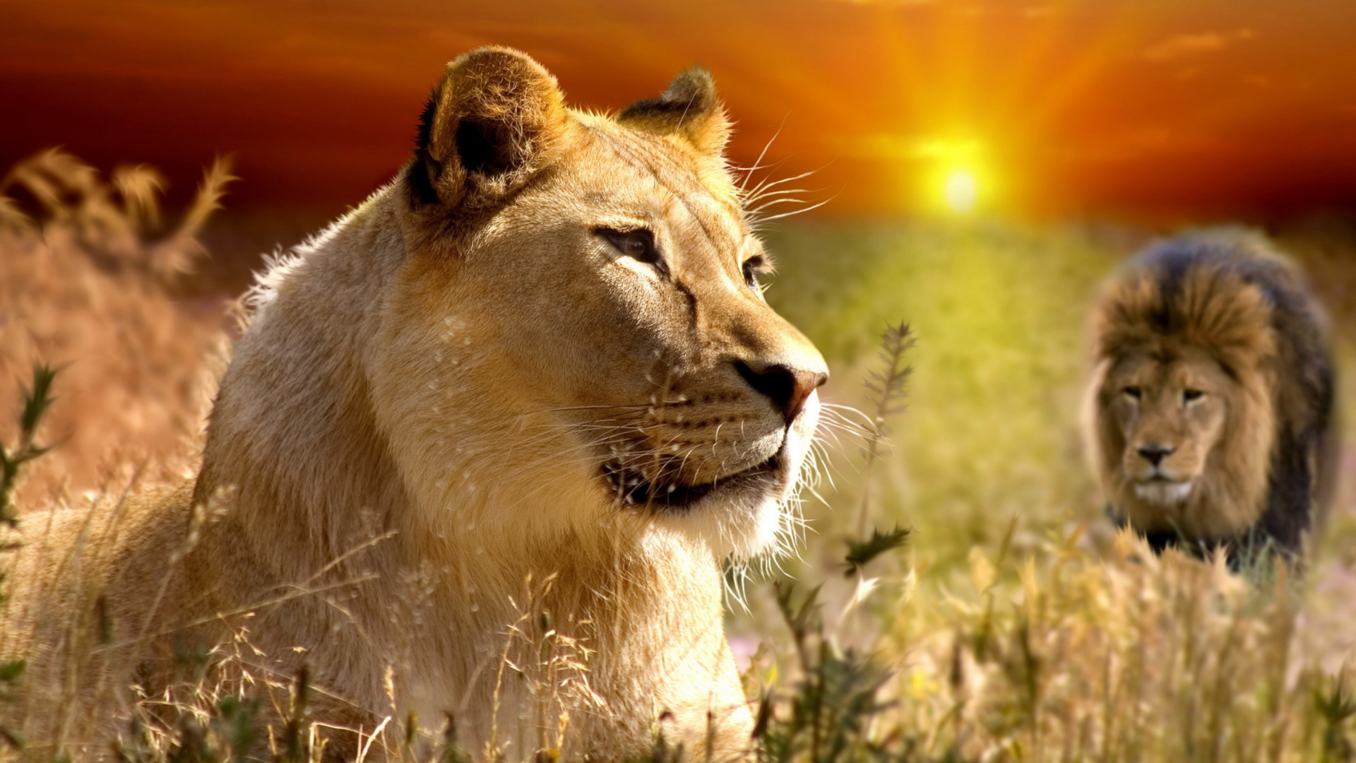 Screenshot №1 pro téma Lions In Kruger National Park 1920x1080