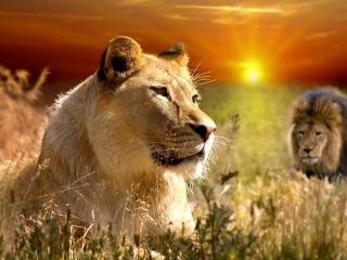 Lions In Kruger National Park para Nokia X2-01