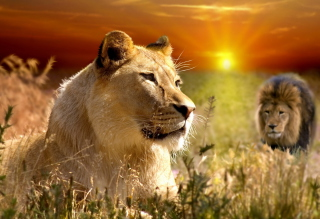 Lions In Kruger National Park Picture for Android, iPhone and iPad
