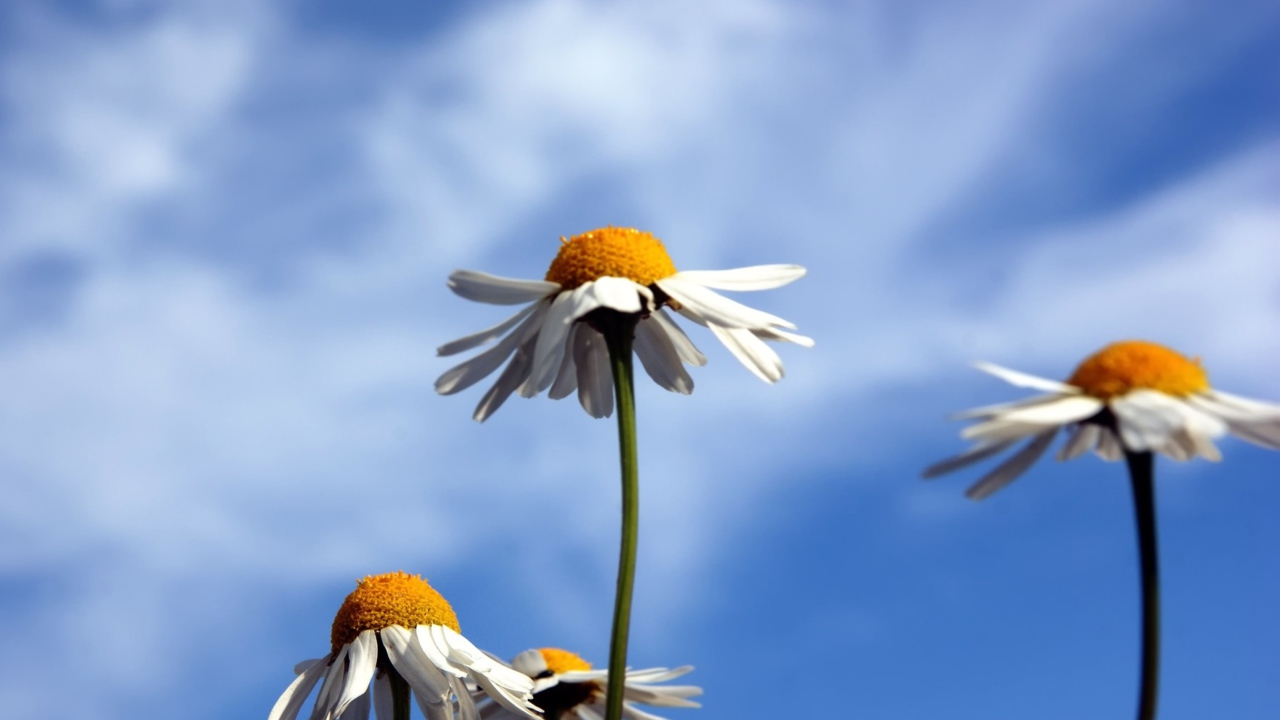 Chamomile And Blue Sky