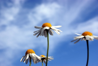 Chamomile And Blue Sky Background for Android, iPhone and iPad