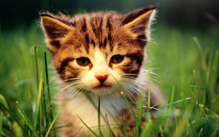 Kitten In Grass Picture for Android, iPhone and iPad