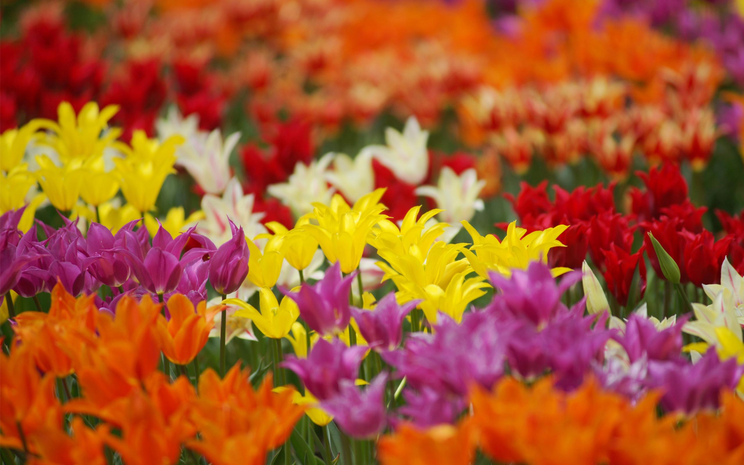 Тюльпаны поле цветные загрузить