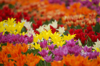 Kostenloses Dreamscape Tulip Field in May Wallpaper für Android, iPhone und iPad