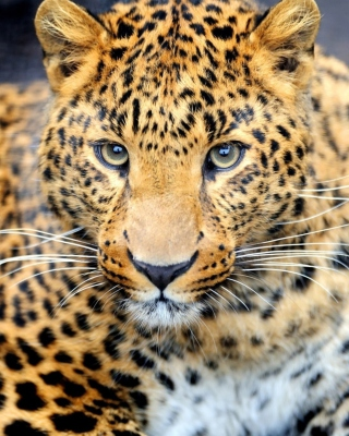 Leopard Predator Picture for HTC Titan