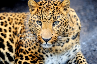 Leopard Predator Background for LG P700 Optimus L7