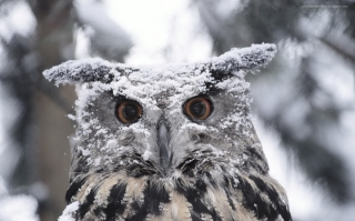 Owl And Snow Picture for Android, iPhone and iPad