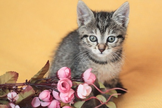 Cute Grey Kitten And Pink Flowers Wallpaper for Android, iPhone and iPad