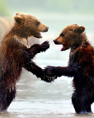 Bear cubs Wallpaper for Nokia Asha 311