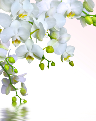 Tenderness White Orchid sfondi gratuiti per iPhone 4S