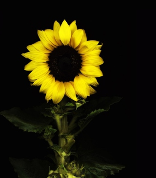 Sunflower In The Dark Picture for iPhone 6 Plus