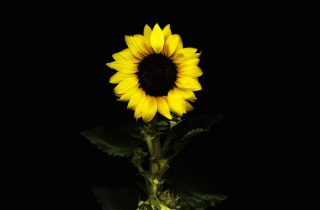 Sunflower In The Dark Background for Android, iPhone and iPad