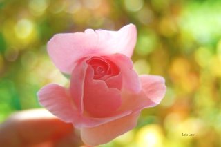 Delicate Rose Picture for Android, iPhone and iPad