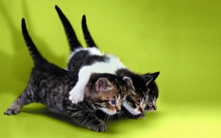 Free Three Kittens Playing Picture for Android, iPhone and iPad