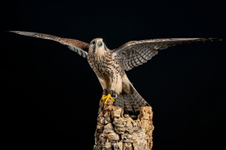 Free Kestrel Bird Picture for Samsung Galaxy S5