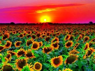 Sunflowers para Nokia Asha 201