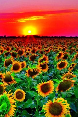 Sunflowers para Huawei G7300