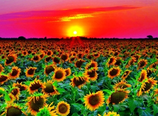 Sunflowers Background for Android, iPhone and iPad
