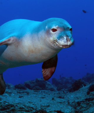 Hawaiian Monk Seal sfondi gratuiti per iPhone 6 Plus