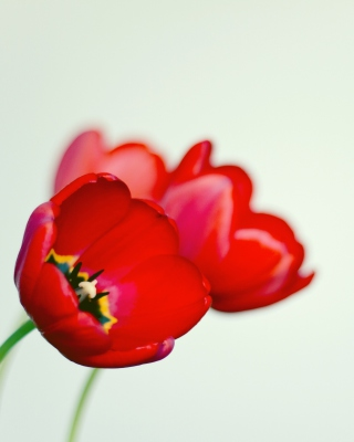 Poppy Picture for 240x320