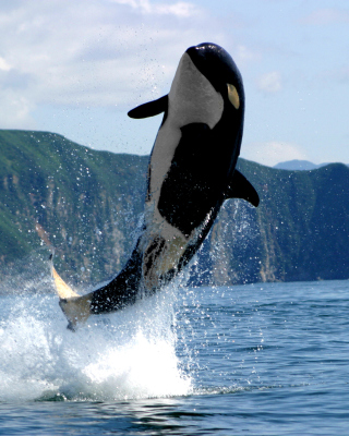 Free Orca in the Atlantic Ocean Picture for HTC Titan