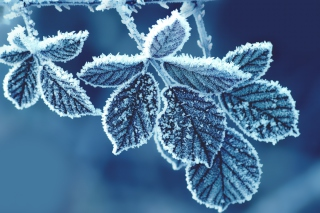 Icy Leaves Picture for Android, iPhone and iPad