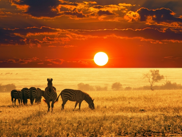 Screenshot №1 pro téma Zebras At Sunset In Savannah Africa 640x480