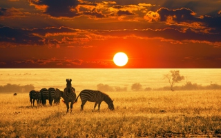 Zebras At Sunset In Savannah Africa Picture for Android, iPhone and iPad