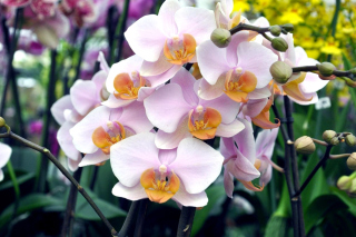 Bela Orchids of Brazil Wallpaper for Android, iPhone and iPad