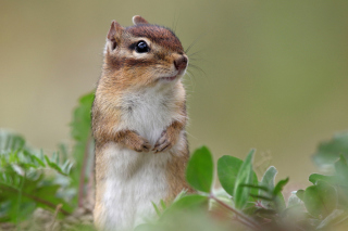 Squirrel HD Background for Android, iPhone and iPad