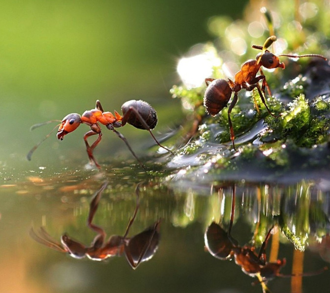 Das Ant Wallpaper 1080x960